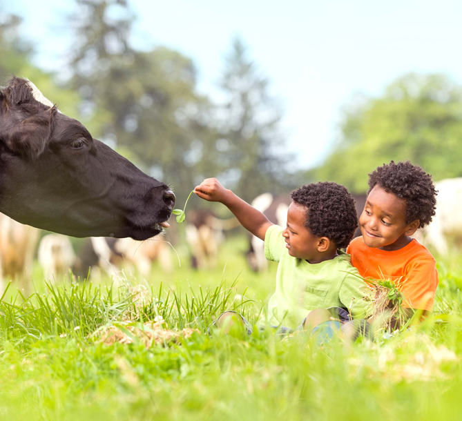 Two young boys in a field feeding a cow organic grass.